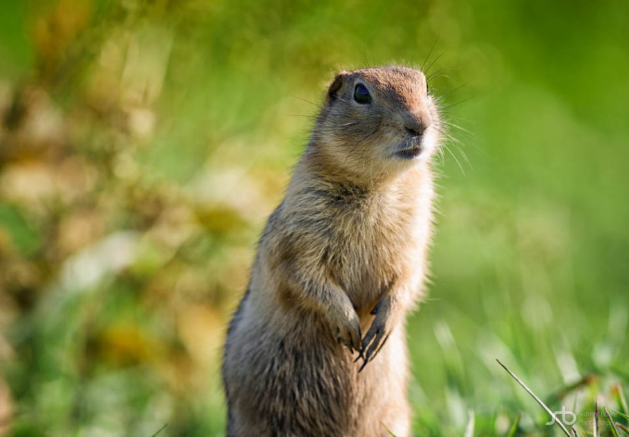Richardsons Ground Squirrel, Alberta wildlife, is standing guard at Elk Island National Park mid-morning during summer. Sidney Blake Photography.