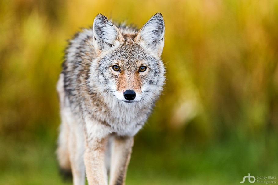 Wildlife Capture Elk Island National Park