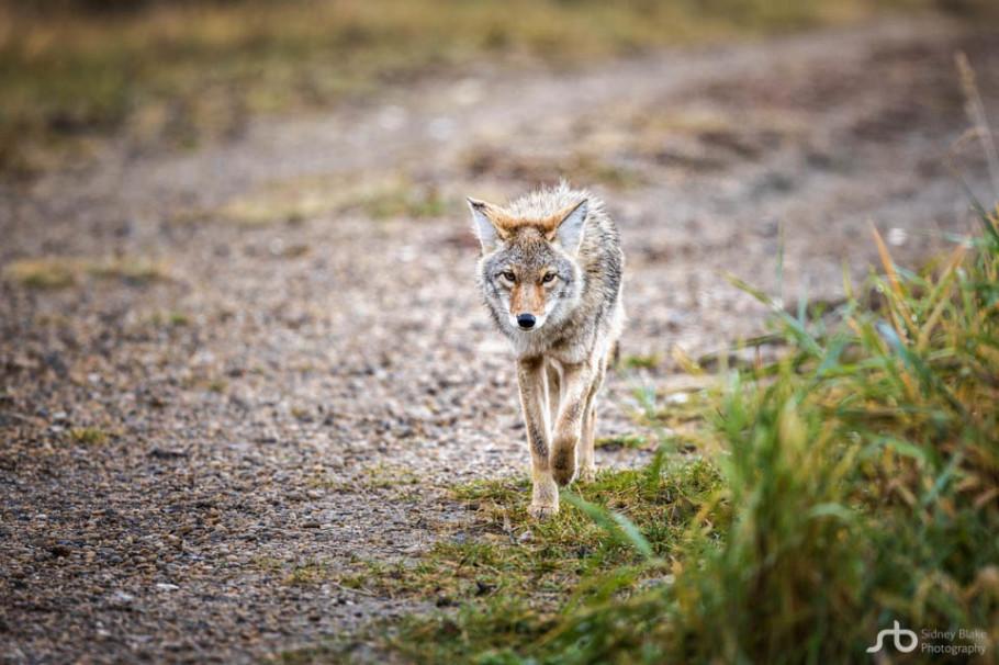 human-coyote conflict, coyote, canis latrans, Elk Island wildlife, Alberta wildlife, wild dog, opportunist, carnivore, canine